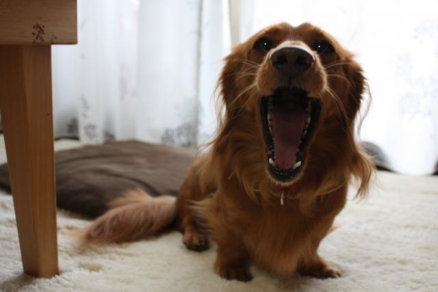 飼い主に犬が吠える