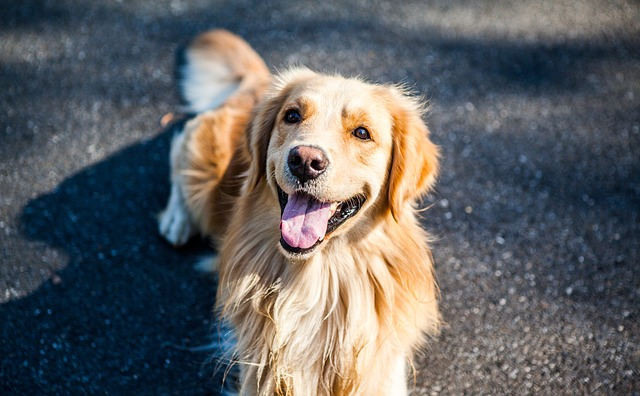 golden-retriever-1059490_640