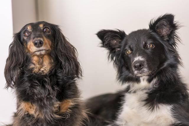 dachshund-975336_640
