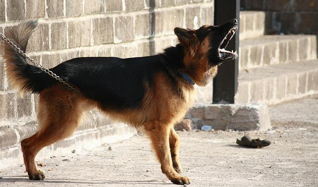 german-shepherd-166972_640