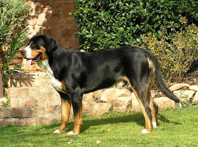 greater-swiss-mountain-dog-1487801_640