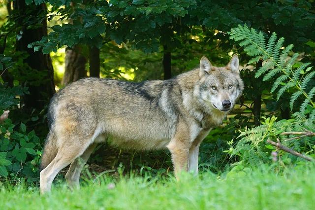 wolf-1583200_640