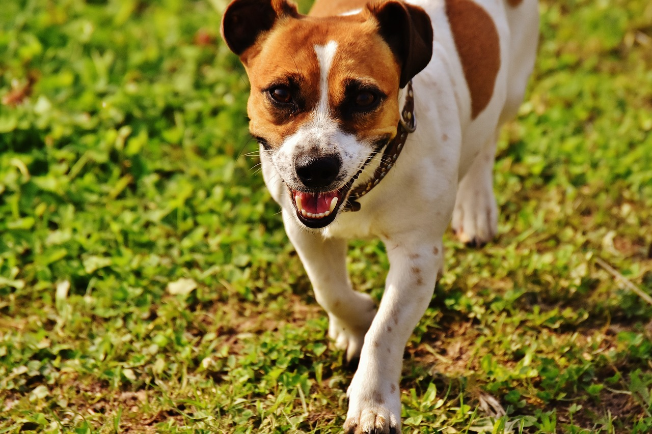 jack-russell-1703748_1280
