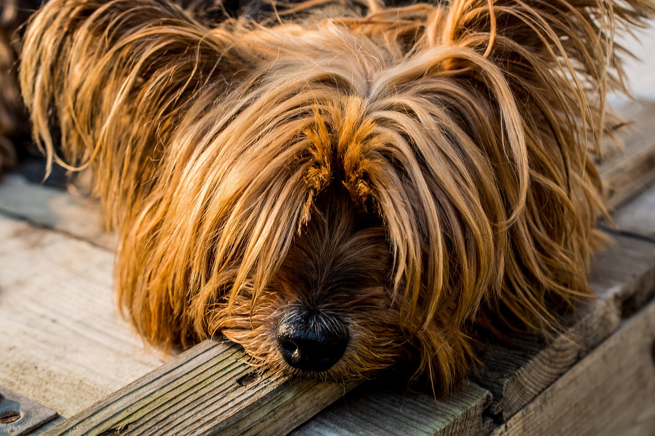 yorkshire-terrier-320833_1280