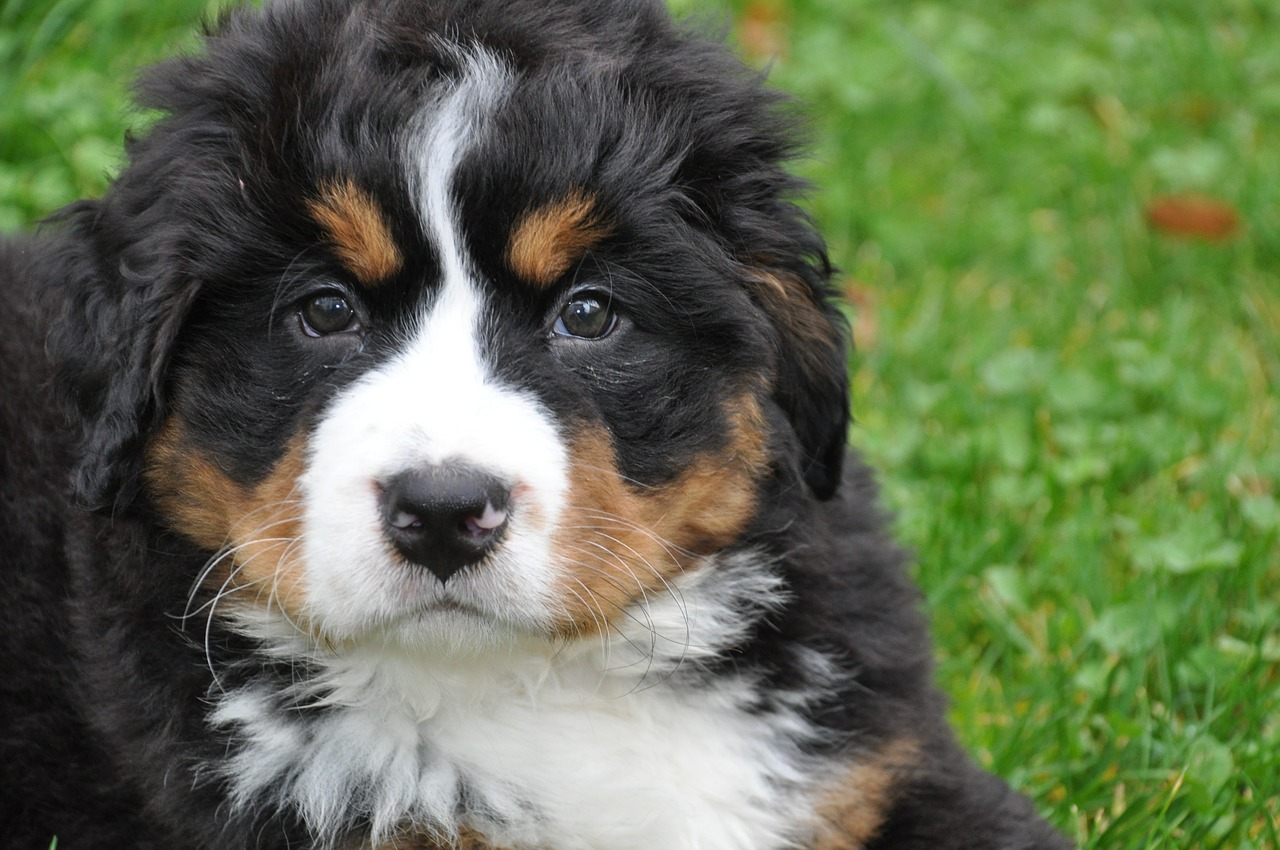 bernese-mountain-dog-1177069_1280