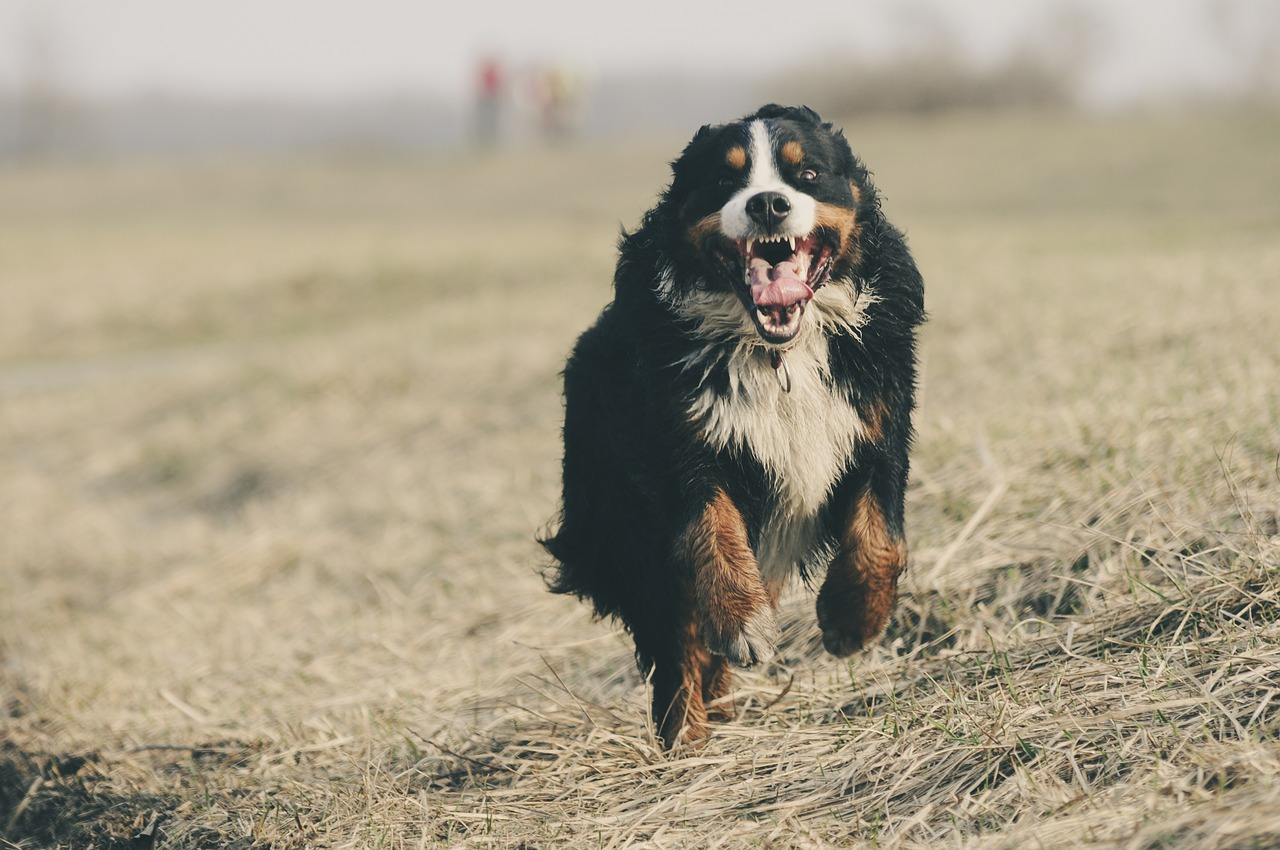 bernese-mountain-dog-1935025_1280