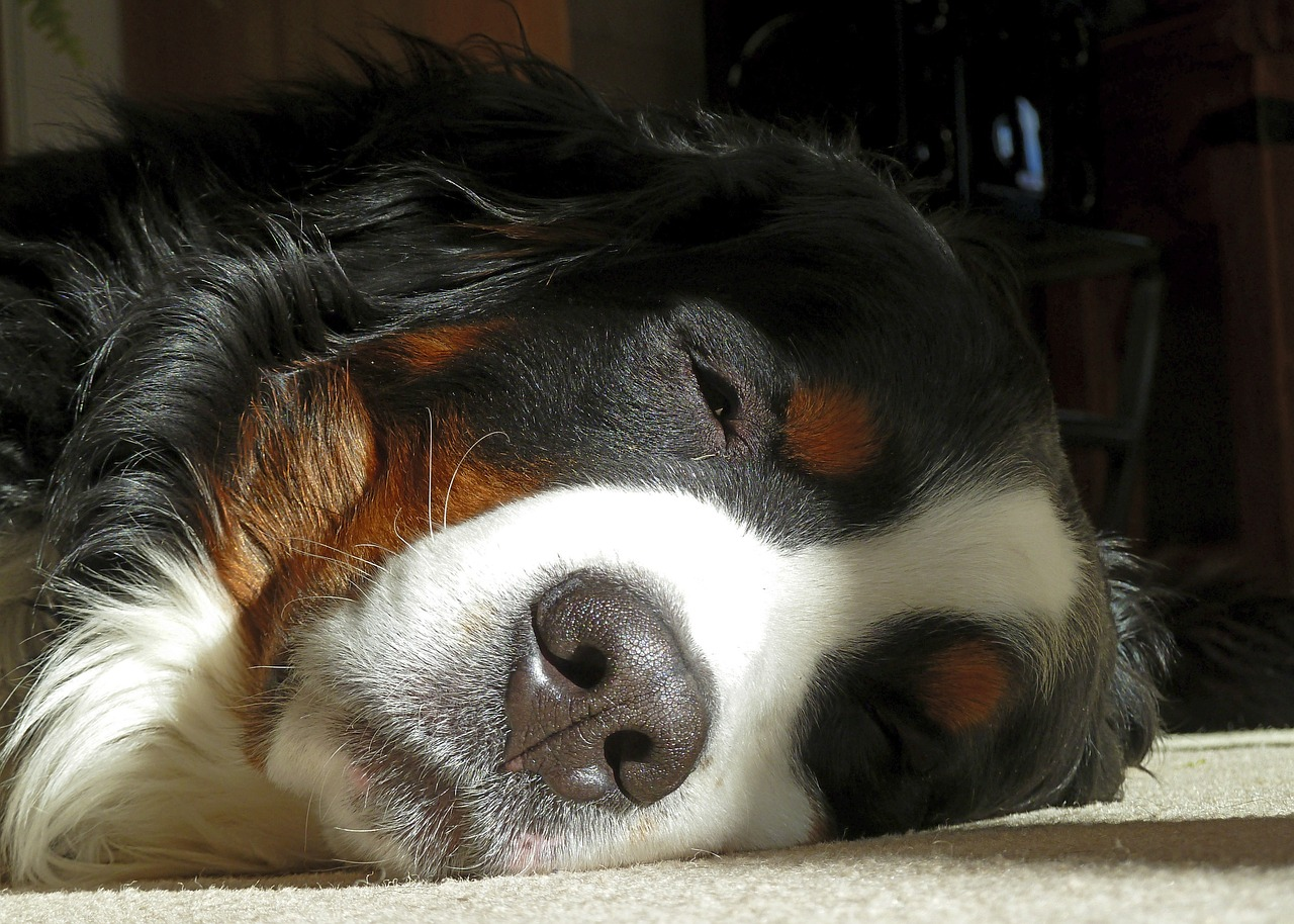 bernese-mountain-dog-205417_1280