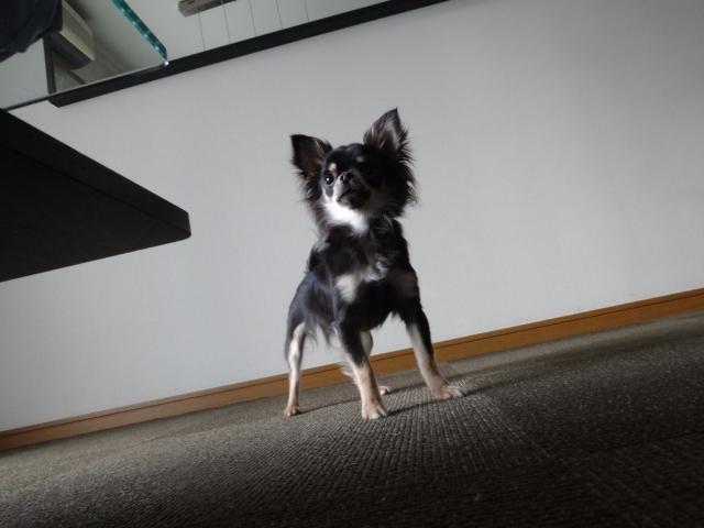 犬のしつけ (8)