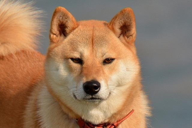 柴犬 (3)