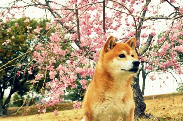 柴犬 (9)