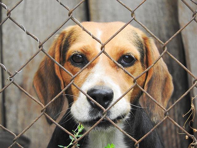 beagle-938012_640