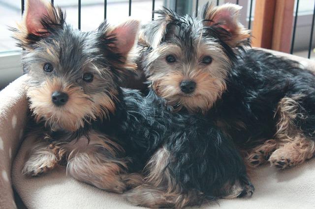 yorkshire-terrier-1718023_640