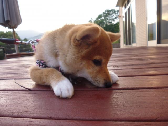 犬の噛みグセ