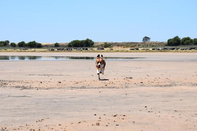 beagle-1606332_640