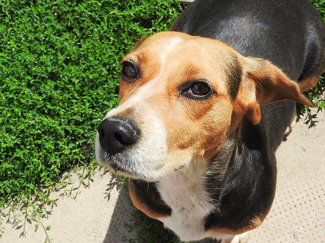 beagle1