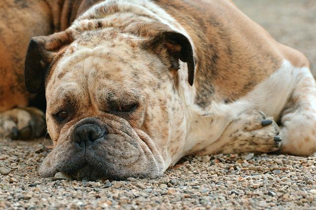 dog-1639528_640