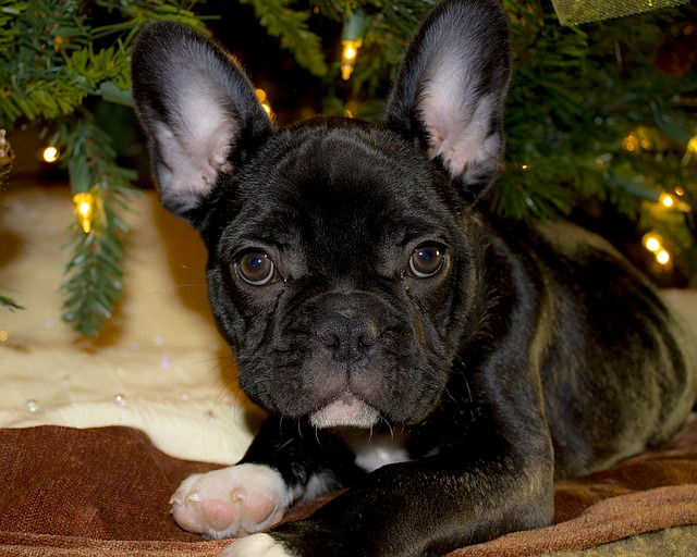 french-bulldog-1420740_640