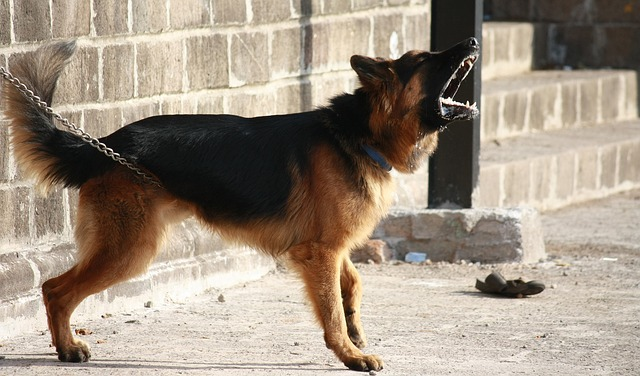 german-shepherd-166972_640