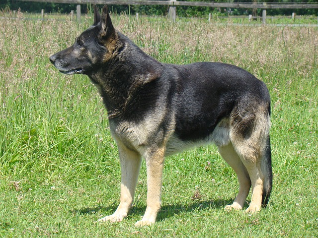 german-shepherd-759807_640