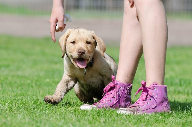 labrador-puppy-672781_640