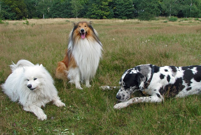 rough-collie-76395_640