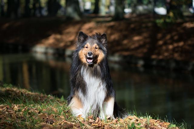 shetland-sheepdog-1002030_640