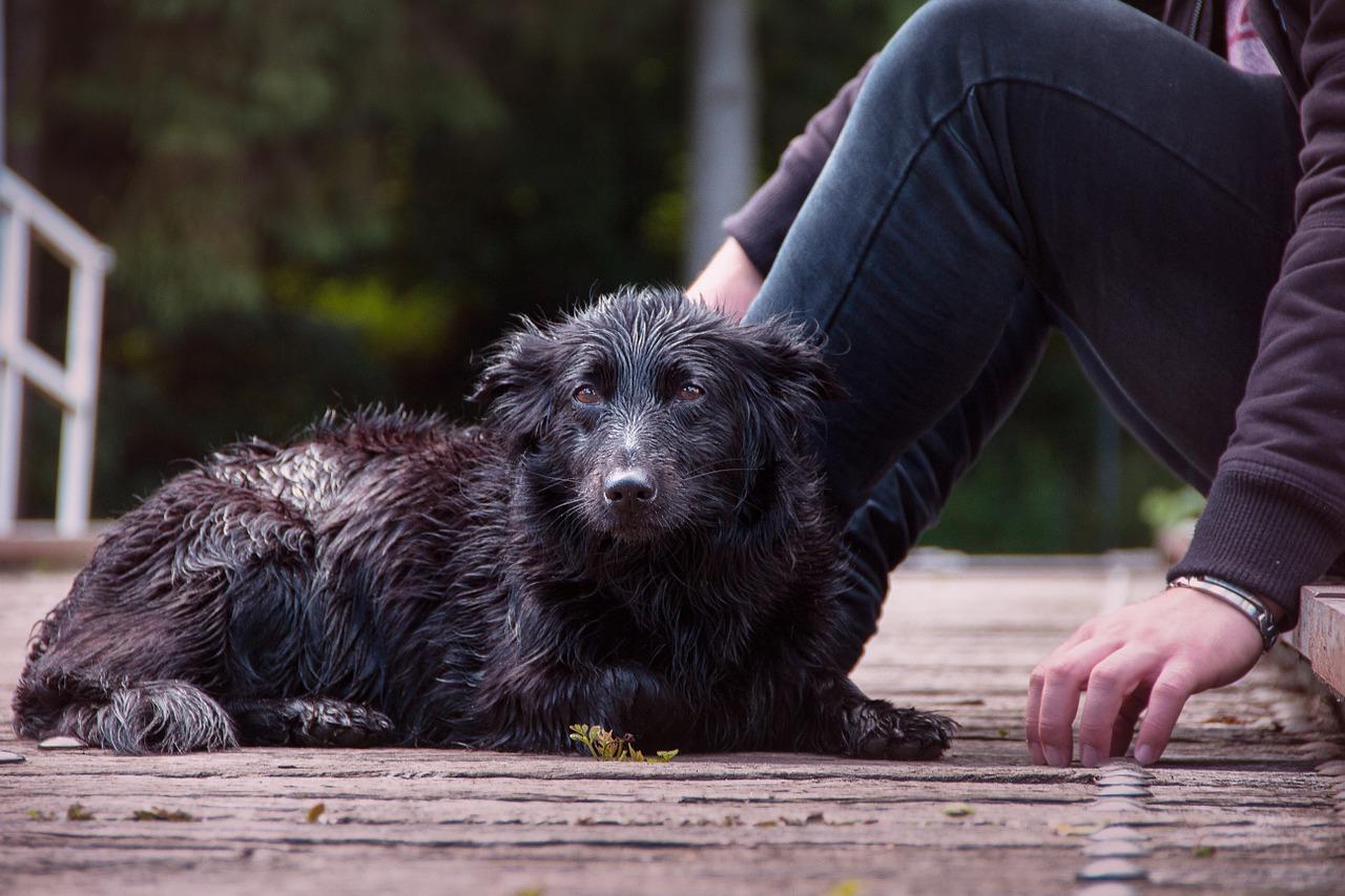 wet-dog-1517698_1280