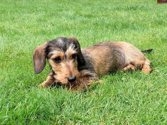 miniature-dachshund-944323_640