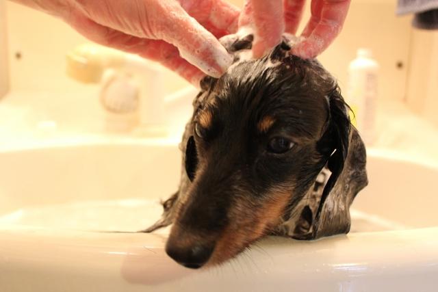 犬のシャンプー